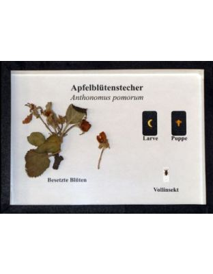 Schaukasten: Apfelblütenstecher