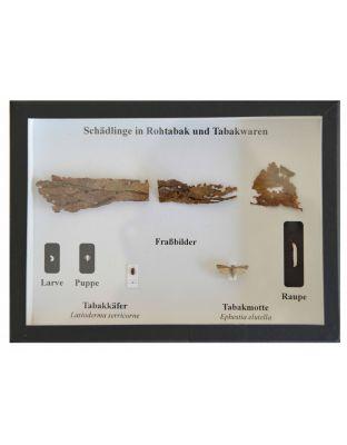 Schaukasten: Insekten in Rohtabak und Tabakwaren