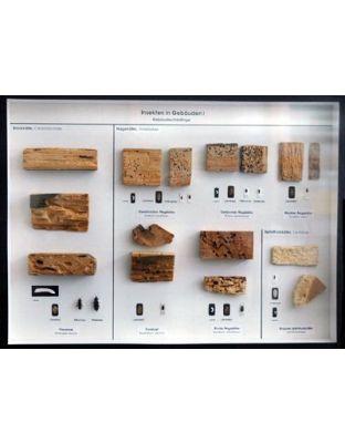 Schaukasten: Holzinsekten - Gebäudeschädlinge