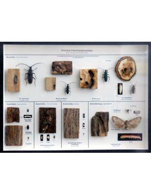 Schaukasten: Primäre Frischholzinsekten