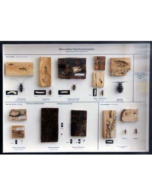 Schaukasten: Sekundäre Frischholzinsekten