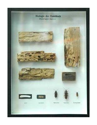 Schaukasten: Biologie des Hausbocks