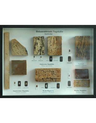 Schaukasten: Holzzerstörende Nagekäfer