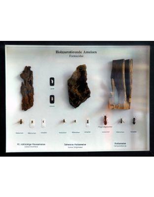 Schaukasten: Holzzerstörende Ameisen