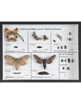 Schaukasten: Kiefernschädlinge a.Winterbodensuchen