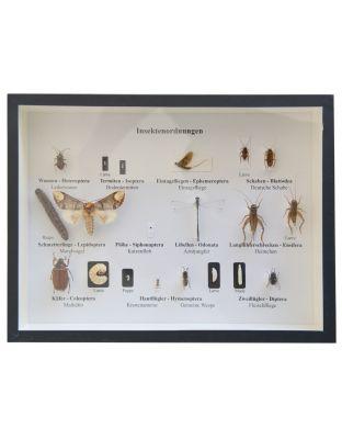 Schaukasten: Heimische Insekten - Ordnungen+Larven