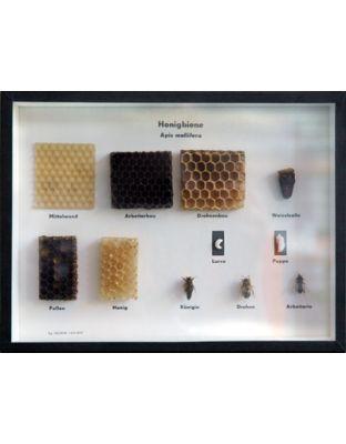 Schaukasten: Biologie der Honigbiene