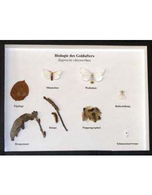 Schaukasten: Biologie des Goldafter