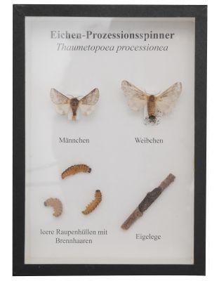Schaukasten: Eichenprozessionsspinner